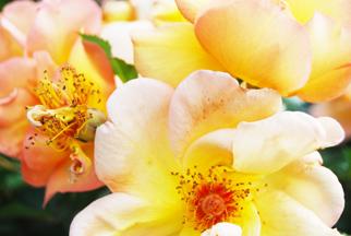 Smallroses