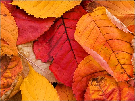Autumn_leaves_470x353