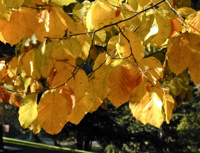 786px-Fagus_sylvatica_autumn_leaves