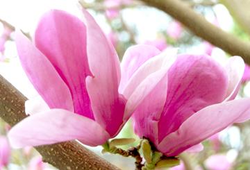 Magnolias2blog