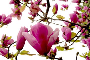 Magnoliasblog
