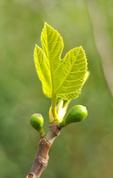 Sonoma fig