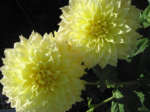 Large_yellow_flowers