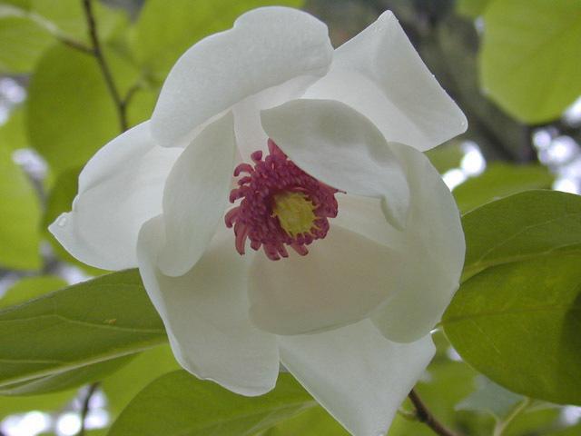 Magnolia_sieboldii1